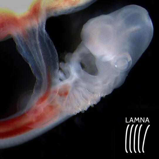 Elasmou detalle Embrion